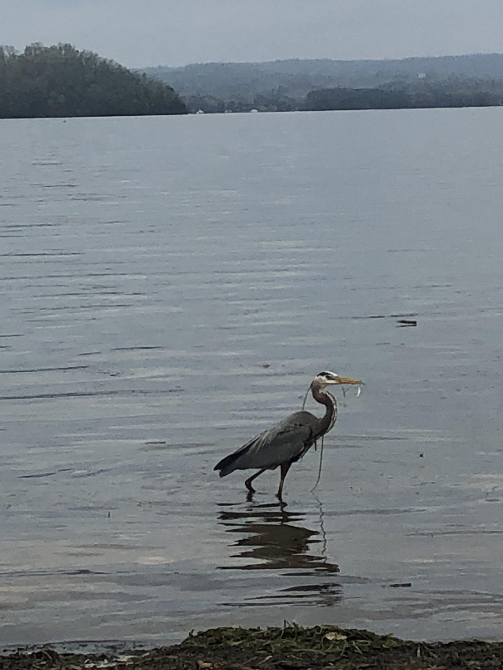 heron with fish Lake Guntersville
