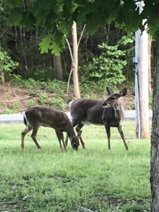 Deer at Lake Guntersville