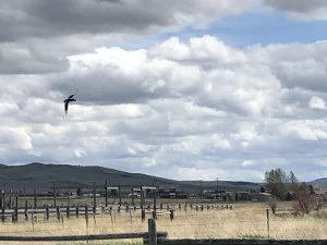 Magpie Flying on the Range