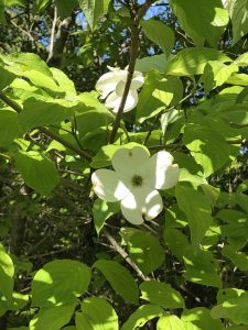 Wild Dogwood at Lake Guntersville